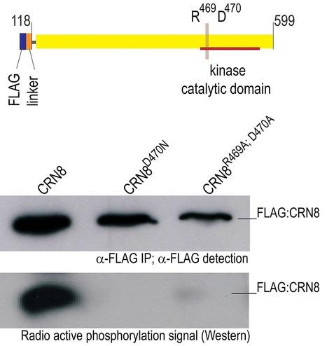 PLoS Pathogens: The Irish Potato Famine Pathogen Phytophthora infestans Translocates the CRN8 Kinase into Host Plant Cells (2012) | Publications | Scoop.it