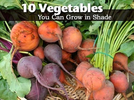 101 Gardening: Vegetables that grow in the shade #vegetable_gardening | World In Green | Scoop.it