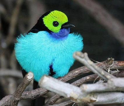 It's called a PARADISE TANAGER for good reason - One of the prettiest birds in the Amazon | Rainforest EXPLORER:  News & Notes | Scoop.it