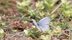 Fukushima butterflies 'abnormal' | Pollinators: a plant focus, for backyards | Scoop.it