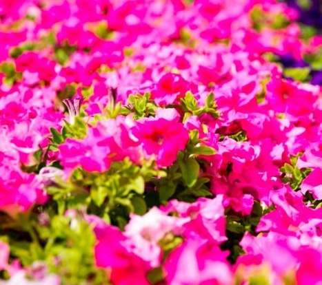 How many flowers does Dubai plant in a year? | Garden | Scoop.it