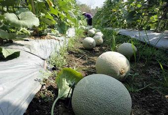 Manfaat Dan Khasiat Buah Melon | kecantikan kesehatan hobi | Scoop.it