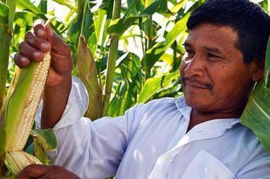 Mexico: Desarrolla la UNAM alternativa para mejorar el maiz | Maíz | Scoop.it