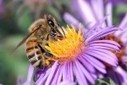 Beekeepers Report Bee Losses of Up to 50 Percent in 2012   Messenger for mother Earth   Scoop.it
