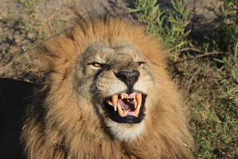 The effects of trophy hunting on five of Africa's iconic wild animal populations in six countries  | Trophy Hunting: It's Impact on Wildlife and People | Scoop.it