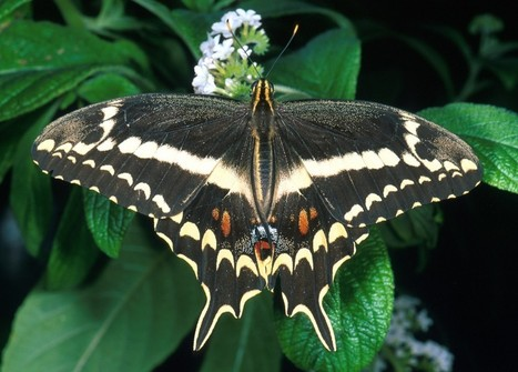 Butterfly decline signals trouble in environment - Washington Post (blog) | GMOs & FOOD, WATER & SOIL MATTERS | Scoop.it