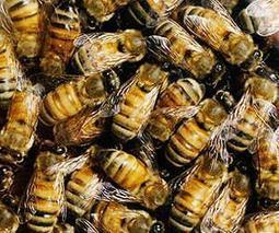EU bans yet another pesticide harmful to bees | Sustain Our Earth | Scoop.it