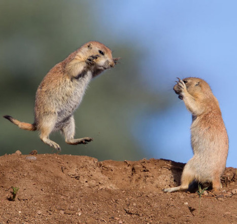 inothernews:American politics.(Photo of two prairie dogs... | Sight For Sore Eyes | Scoop.it