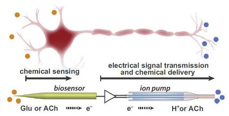 Swedish scientists create an artificial neuron that mimicks an organic one | KurzweilAI | The virtual life | Scoop.it