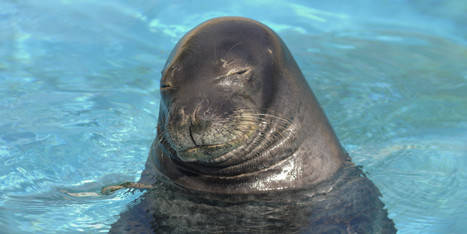 Who's #Killing #Hawaii's #MonkSeals? ~ #Endangered | Rescue our Ocean's & it's species from Man's Pollution! | Scoop.it