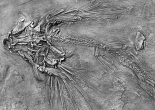 New flying fish fossils discovered in China | L'actu culturelle | Scoop.it