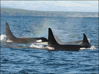 Scientists unraveling mystery of Orcas in race to save them. | #OrcaAvengers | Scoop.it