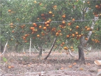 Ministerio de agricultura enfrenta plaga en cítricos de Hato Mayor - MunicipiosAlDia.com :: Edición Dominicana   Limón ( Citrus x Limon )   Scoop.it
