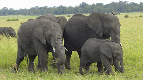 Fight Against Poaching Of Africa's Endangered Elephants Gets Optimistic | Pachyderm Magazine | Scoop.it