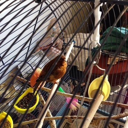 Our new pet canary Canelo.<br/>#canary #bird | Digital-News on Scoop.it today | Scoop.it