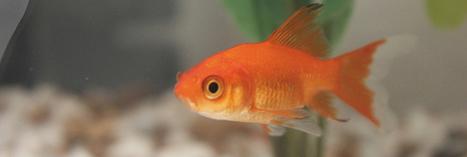 Ne relâchez pas votre poisson rouge dans une rivière ! | Toxique, soyons vigilant ! | Scoop.it
