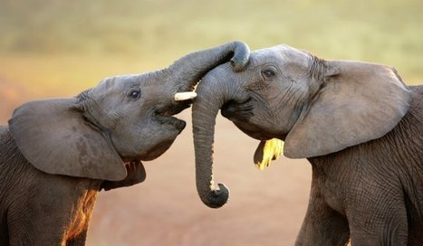 WildLeaks: Exposing the Links Between Elephant Poaching and Boko Haram | The Fight for Elephant & Rhino Survival | Scoop.it