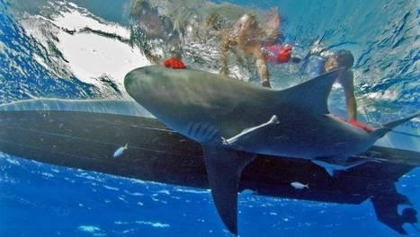 Attaques de requins à La Réunion : l'enquête | ARTE | Requins en Péril | Scoop.it