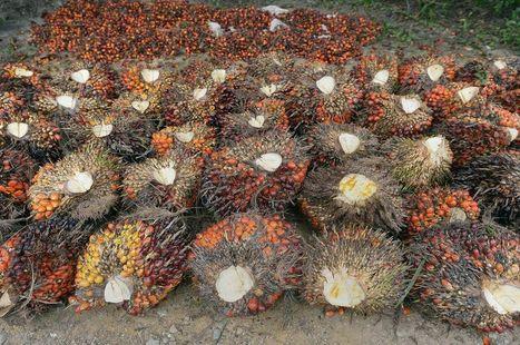 Près de la moitié de l'huile de palme consommée en Europe se trouve... dans le diesel   Planete DDurable   Scoop.it