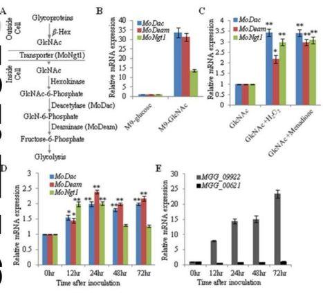Magnaporthe oryzae Aminosugar Metabolism is Essential for Successful Host Colonization | Rice Blast | Scoop.it