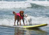 HWAC's 8th annual Surf Dog Surf-a-thon to be held on September 8 | Pet News | Scoop.it