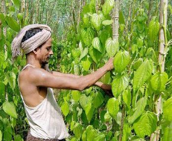 Betel leaf leaves farmers in the red | The Paanwala | Scoop.it