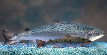 The genetically modified 'Frankenfish' salmon soon in a plate near you - Mongabay.com | Fishing Products and News | Scoop.it
