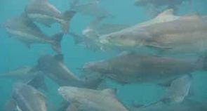 The Aquaculturists: 30/07/2015: Cobia: The next big thing? Panama   Global Aquaculture News & Events   Scoop.it