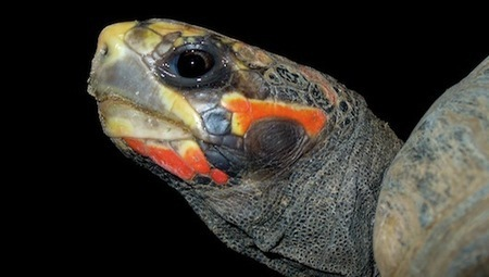 Missing turtle survives in storage room for 30 years | Animal Sciences | Scoop.it