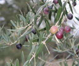 Nuevo Plan para la conservación 50 variedades de olivo | Cultivos | Scoop.it