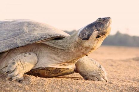 Scientists study 'talking' turtles in Brazilian Amazon | GarryRogers Biosphere News | Scoop.it
