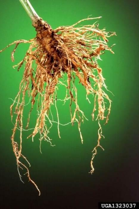 Molecular Plant Pathology: Top 10 plant-parasitic nematodes in molecular plant pathology   plant cell genetics   Scoop.it