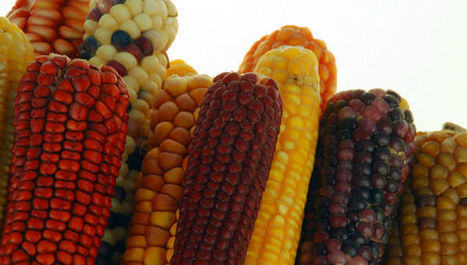 African smallholders to get stress-tolerant maize | Agriculture news & innovations | Scoop.it