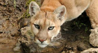 Mountain Lion | Basic Facts About Mountain Lions | Defenders of Wildlife | Mountains | Scoop.it