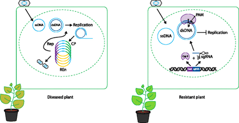 Genome Biology: Boosting plant immunity with CRISPR/Cas (2015) | Publications from The Sainsbury Laboratory | Scoop.it