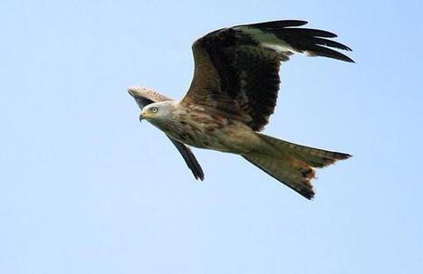 Tweet from @SimonDEV5   British Birds of Prey   Scoop.it