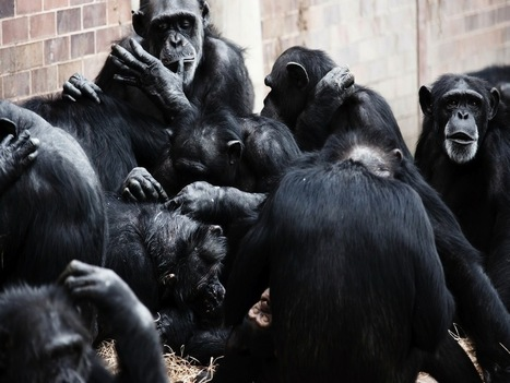 Los chimpancés son más colaborativos que competitivos | Gestión de Enfermería | Scoop.it
