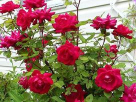 Rose Garden Attraction of Ooty Tourism | OotyBudgethotels | Scoop.it