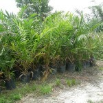 Indonesian Palm Oil Is Growing Source of CO2 Emissions, Study Shows | Y10 Humanities Geography of Climate Change | Scoop.it
