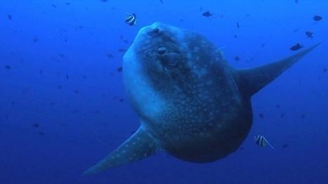 Vidéo Full HD | Indonésie - Voyage de plongée à Bali ! | Plongeurs.TV | Scoop.it