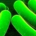 E. coli-bacterie maakt brandstof   Futuras.nl   Bacteriën   Scoop.it