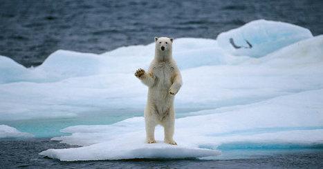 Rimouski: Un ours polaire aurait dérivé sur plus de 2,000 km | Ca m'interpelle... | Scoop.it