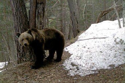 Pyrénées : le réveil de l'ours - L'indépendant.fr | pastoralisme et prédation | Scoop.it