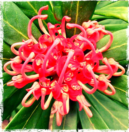 Waratah – The New South Wales Floral Emblem | Gardener's Life | Scoop.it