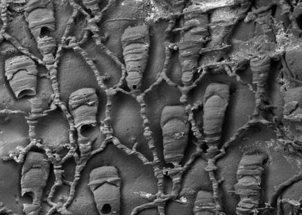 Tiny 'living fossil' found in New Zealand waters   Geology   Scoop.it