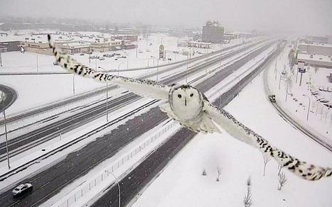 Traffic camera captures glorious image of snowy owl in flight   grants   Scoop.it