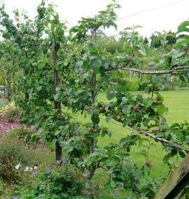 No Tech Magazine: Fences of Fruit Trees | Fruit trees | Scoop.it