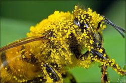 Pollen OGM dans le miel: un constituant, pas un ingrédient - Journal de l'environnement | Abeilles, intoxications et informations | Scoop.it