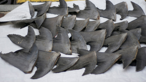 Cathay Pacific Bans Shark Fin | Life on Earth | Scoop.it
