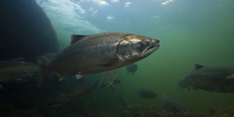 17 Ways the Government Is Helping Kill Wild Salmon | Canada and its politics | Scoop.it